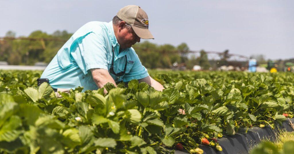 farmer inspects strawberries in the field